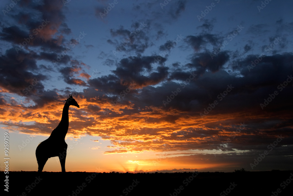 Foto-Fußmatte - Giraffe silhouetted against a sunset with clouds, South Africa