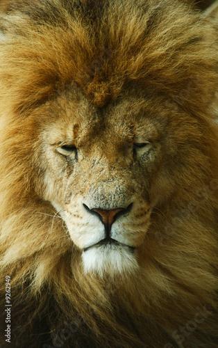 Fotobehang Leeuw sleeping african lion