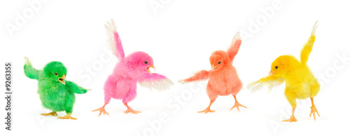 Slika na platnu Four colorful chicks in action