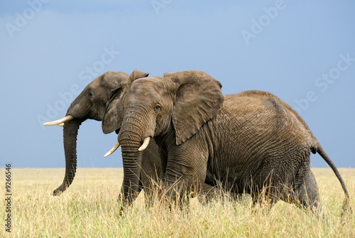 Photo  Two afraid african elephants running in savanna