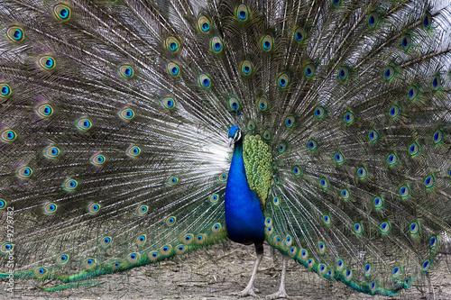 Foto op Plexiglas Pauw Colorful, beautiful peacock during ritual, mating dance
