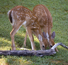 A Pair Of Whitetail Fawns Eating At Dawn