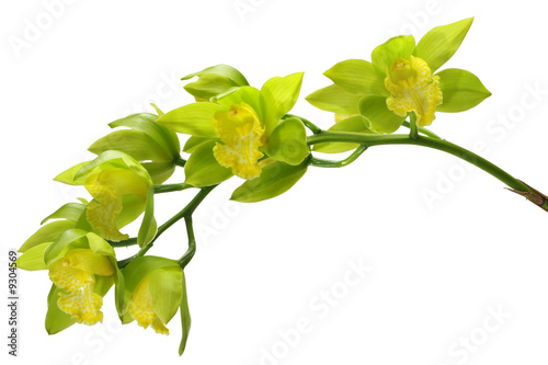 Montage in der Fensternische Orchideen Green and Yellow Cymbiduim