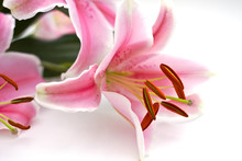 Close Up Of Pink Lillies On Wh...