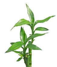 Bambou Nain2