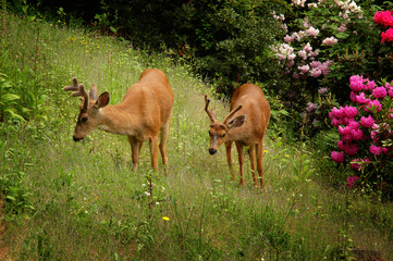 Fototapeta Zwierzęta Two young male black-tailed deer on green grass