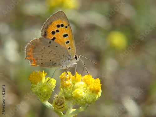 Fototapety, obrazy: butterfly
