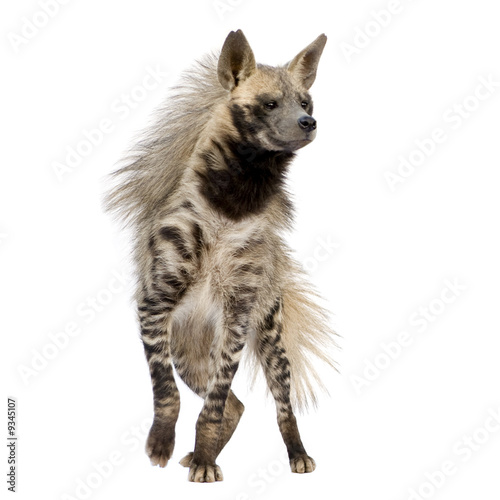 Poster Hyène Striped Hyena in front of a white background