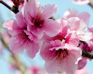 Fototapeta Owoce Peach Blossoms