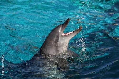 Fototapeta Playful bottlenose dolphin splashing water and mouth open