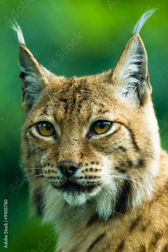 Poster Lynx Portrait of a Lynx. Focus is on the eyes.