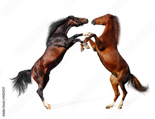 Photo  battle horses - isolated on white
