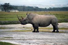 Rhino, Zebras And Safari Van. Hills In Background.