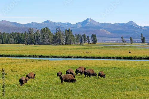 Wild buffalo at Yellowstone park eating grass