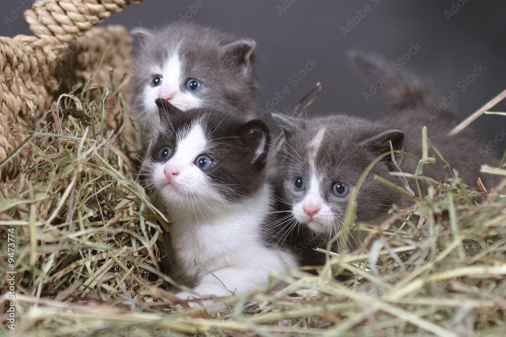 Foto-Schiebevorhang (ohne Schiene) - 3 chatons curieux
