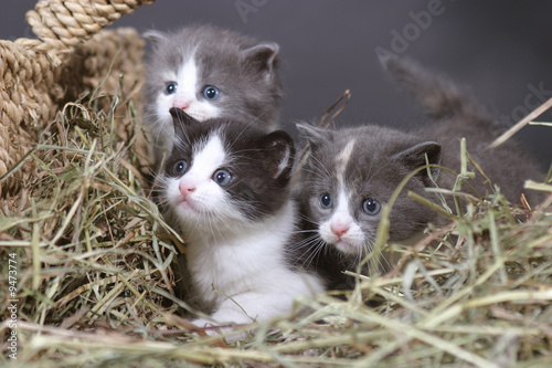 Foto-Schiebevorhang (ohne Schiene) - 3 chatons curieux (von Le Biplan)