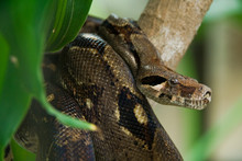 A Brown Anaconda In The Jungle Looking For Food