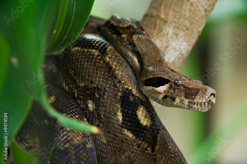 Photo a brown anaconda in the jungle looking for food