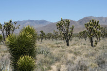 Joshua Trees In Mojave Desert,...