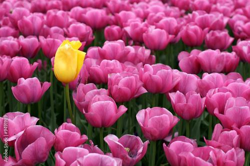 Cadres-photo bureau Rose Tulips