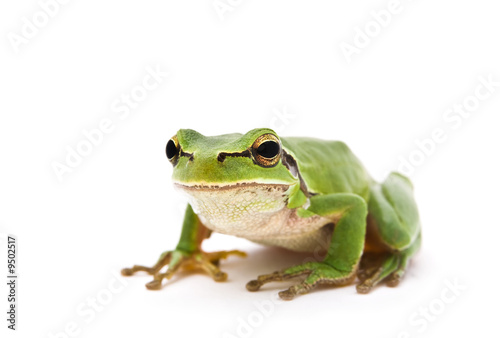 Foto op Plexiglas Kikker Green Tree Frog isolated on white background. Shallow DOF..
