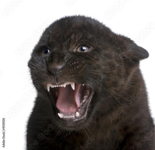 Deurstickers Panter Jaguar cub (2 months) - Panthera onca