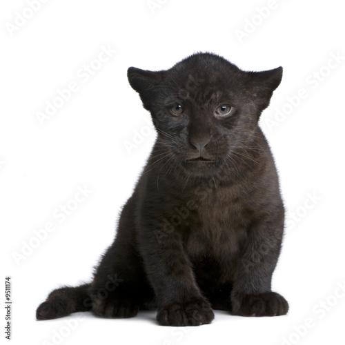 Photo Stands Panther Jaguar cub (2 months) - Panthera onca