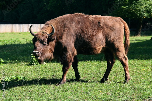 Photo  Big aurochs in Poland