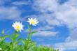 Leinwandbild Motiv daisies in a field against cloudy background