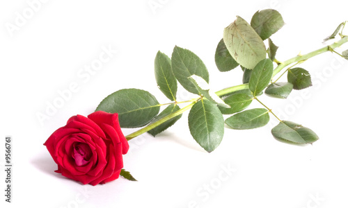 Red rose close-up isolated on white background © zaharch