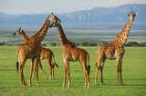 Fototapeta Sawanna - Giraffes herd in savannah