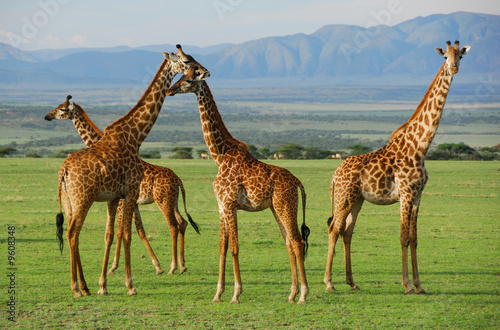 Foto op Canvas Giraffe Giraffes herd in savannah