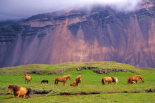 Icelandic Horses In A Peaceful Meadow, Iceland