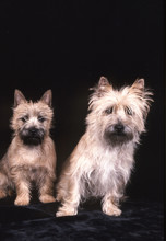 Duo De Cairn Terrier En Studio