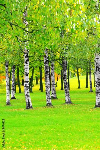 Photo Stands Birch Grove Birches