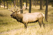 canvas print picture - Elk Calling in the Forest