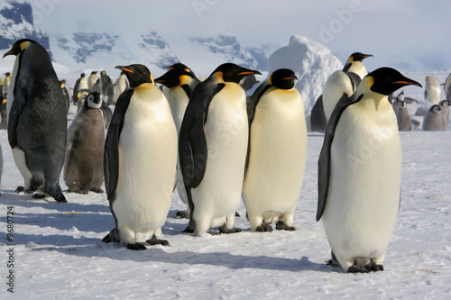 Poster Antarctique Emperor penguin - Coulmann Island (Antarctic)