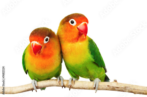 Foto op Canvas Papegaai Pair of lovebirds agapornis-fischeri isolated on white