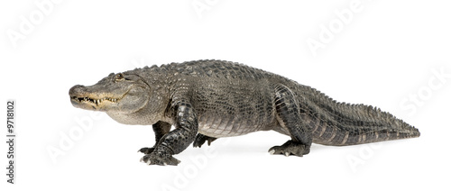 American Alligator (30 years) in front of a white background