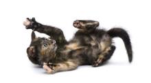 Tortoiseshell Cat (2 Months) I...