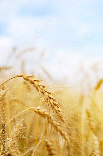 Fotografía wheat