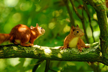 Playing Young Squirrels