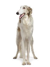 Russian Wolfhound (15 Months) In Front Of A White Background