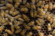 canvas print picture - a bee colony