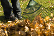 A Child Helping With Fall Chores, By Raking Leaves