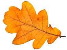Yellow Autumn Oak Leaf Over Th...