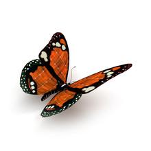 Papillon Orange 02