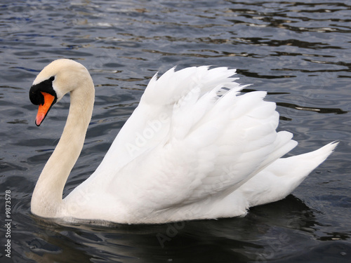 Poster Cygne White Swan by the lake