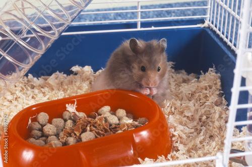Fotografie, Obraz  hamster en train de manger dans sa cage