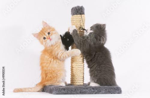 Fotografie, Obraz  chatons jouant avec leur grattoir